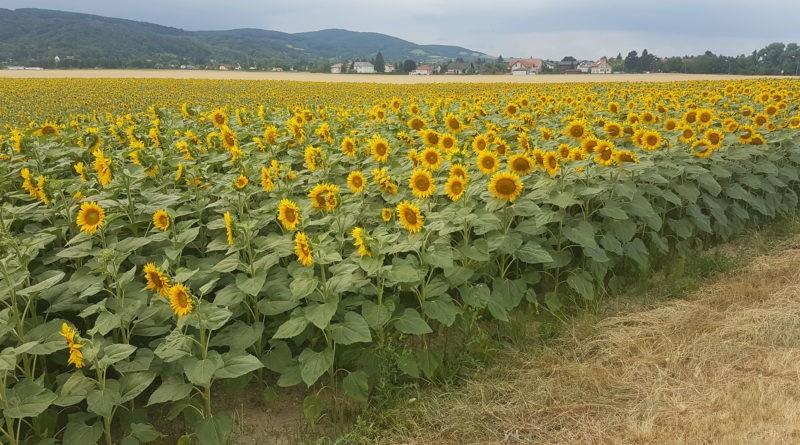 Zeiselmauer Sonnenblumenfeld