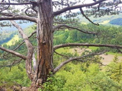Baum Hausstein