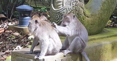 Krankheitsüberträger Affen